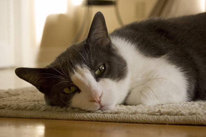 חתול על השטיח